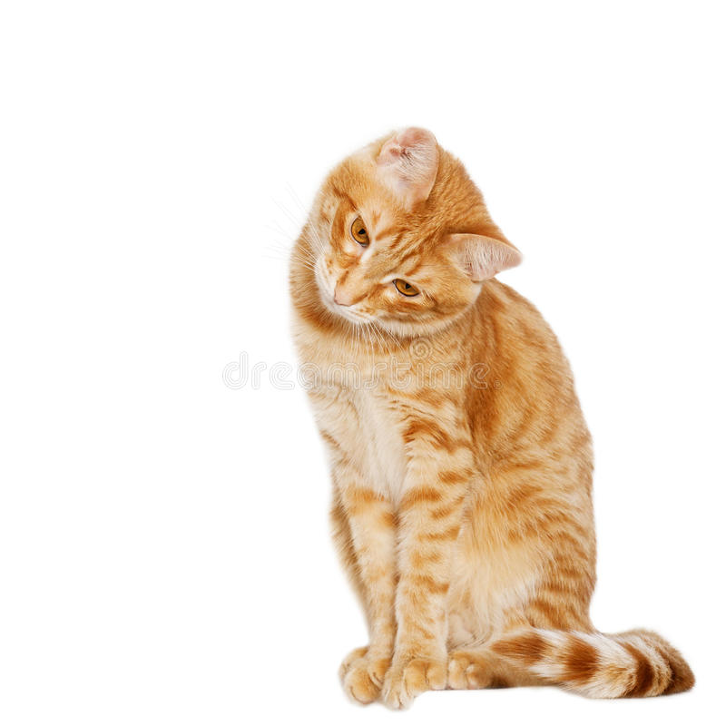 Ginger cat sits bowed his head to the side. Isolated on white royalty free stock photography