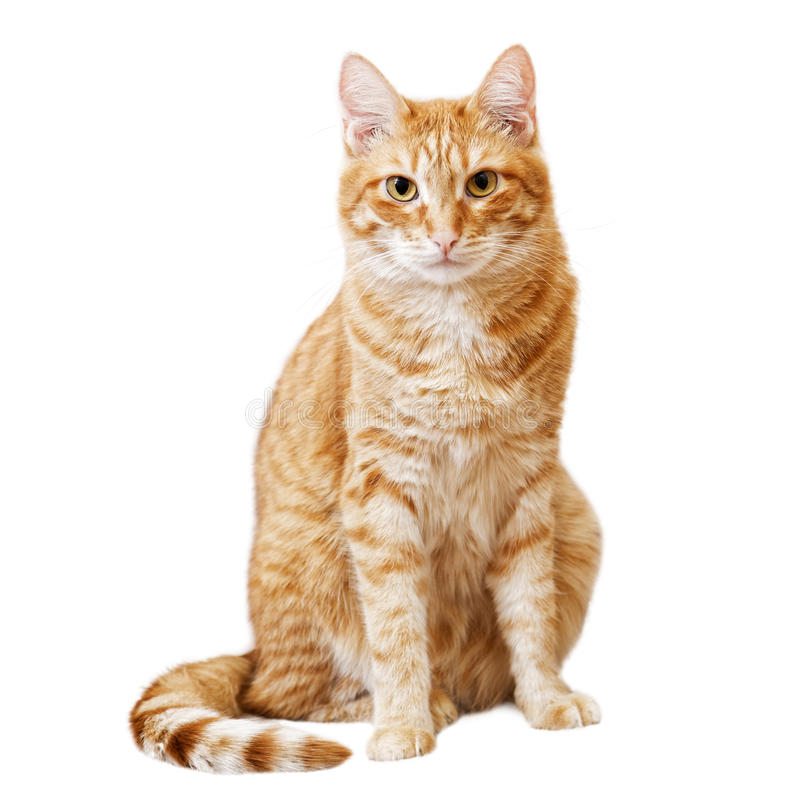 Ginger cat sits and looks directly in camera. Isolated on white royalty free stock images