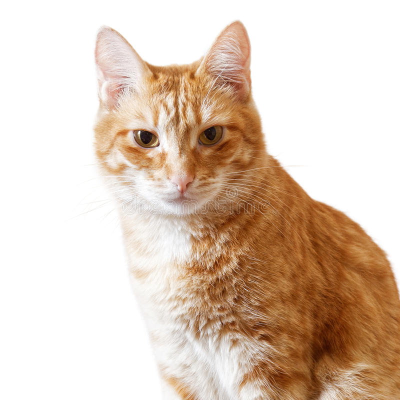 Ginger cat sits and looks directly in camera. Isolated on white stock image
