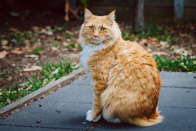 Ginger cat sitting on pavement. stock images