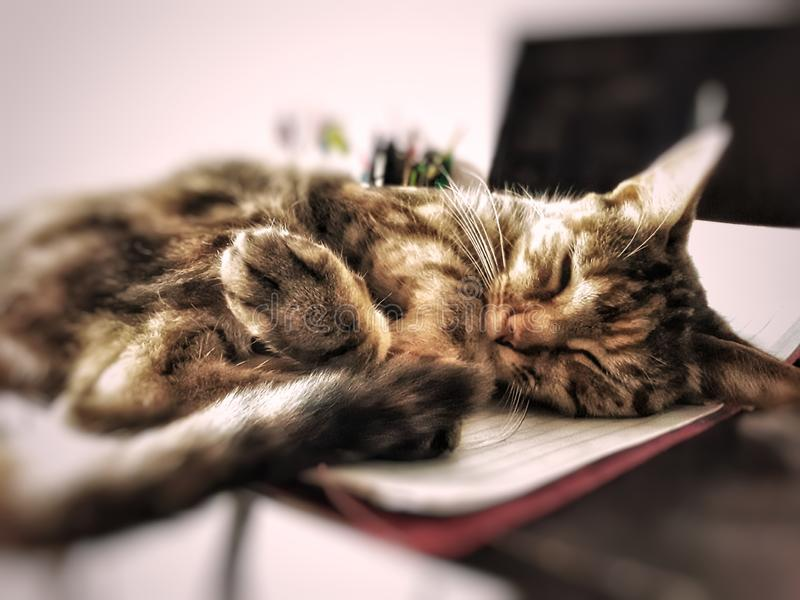 Ginger cat sleeping royalty free stock photo