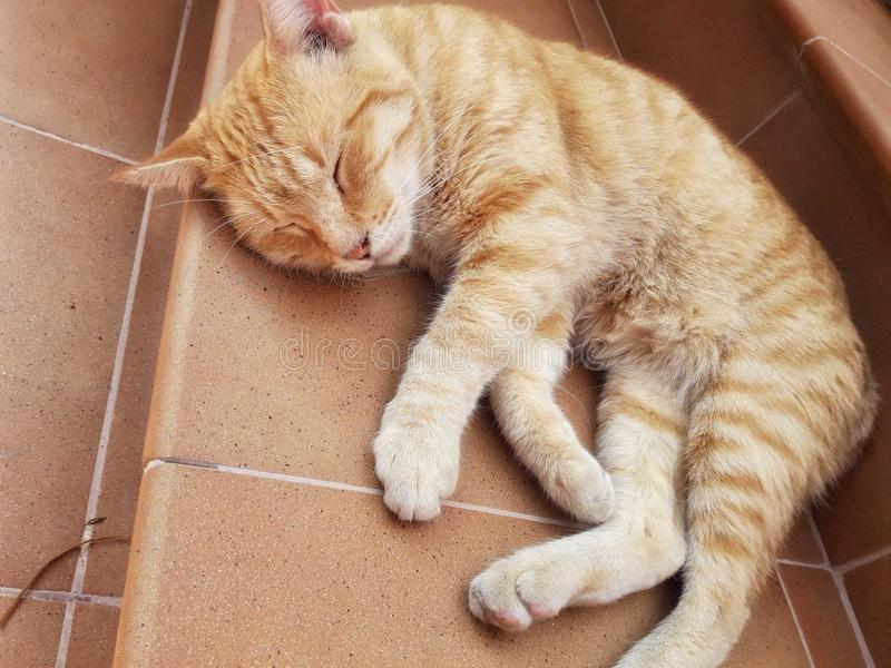 Ginger cat royalty free stock photo