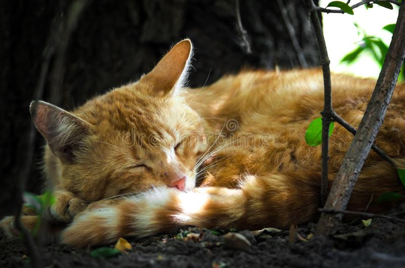 Ginger cat sleeping under a tree in the sun stock photos