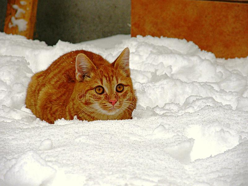 Ginger cat in the snow royalty free stock photos
