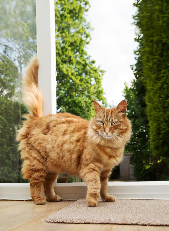 Ginger cat standing by a patio door. Close up of a ginger cat standing by a patio door stock photo