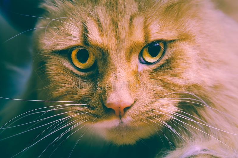 Ginger cat stares intensely into the camera. Ginger cat stares intensely into the camera - retro analog style royalty free stock photo