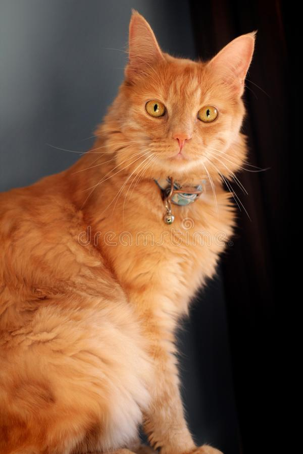 Ginger Cat with a staring gaze. Ginger long haired pet cat staring in anticipation at the camera stock photo