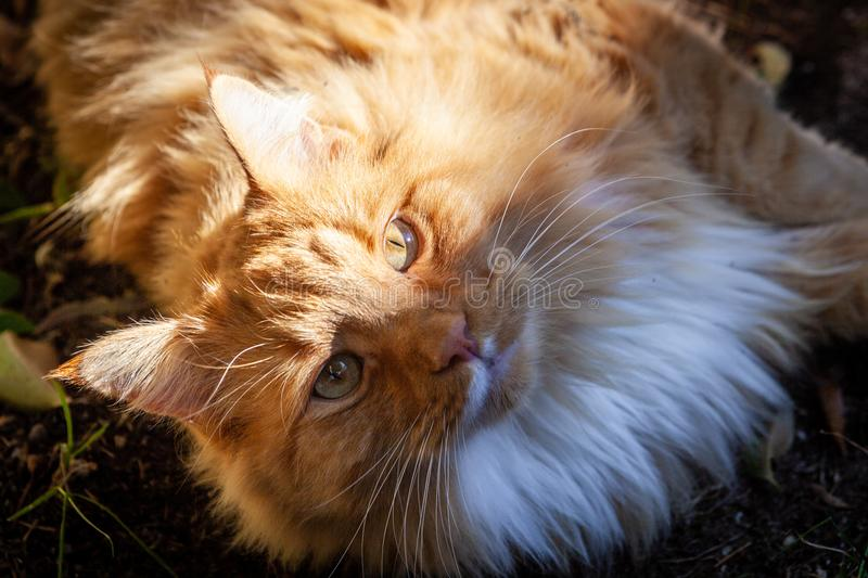 Ginger cat staring intensely into the camera. Ginger cat staring intensely into the camera royalty free stock photo