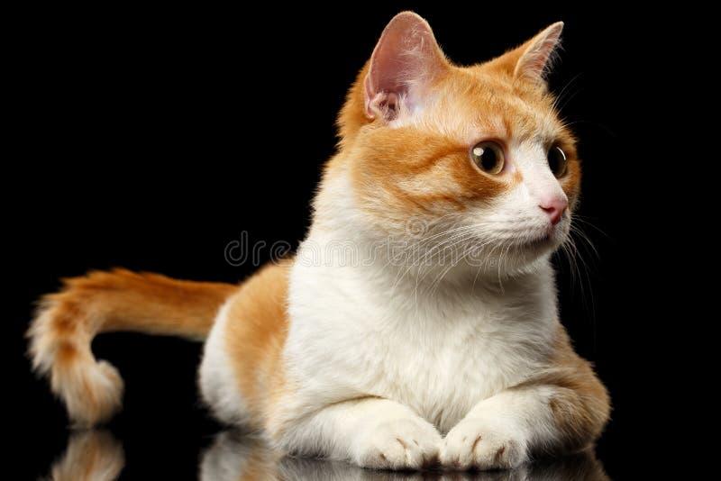 Ginger Cat Surprised Looking de mentira en la derecha en el espejo negro foto de archivo