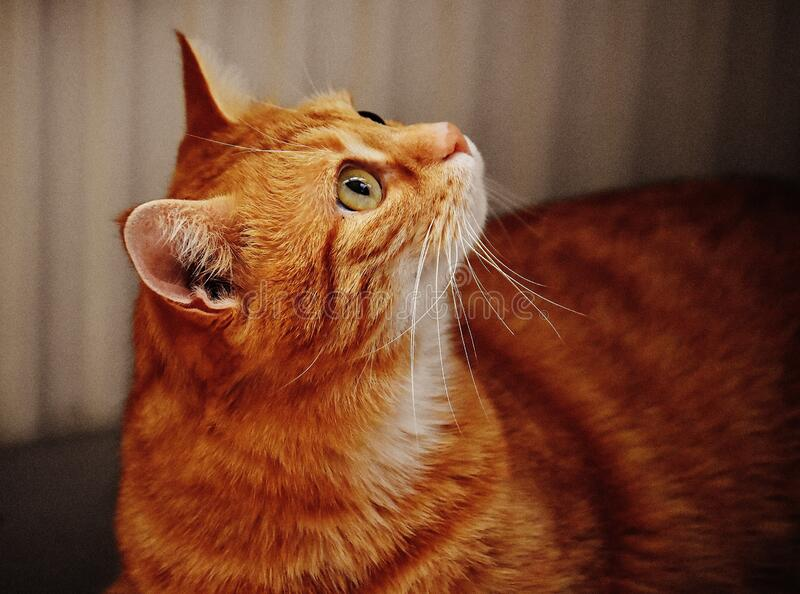 Ginger cat royalty free stock photography