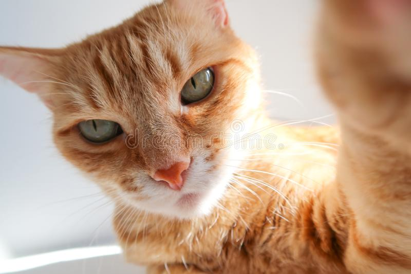 Ginger cat taking a selfie shot and looking seriously. Cute cat with green eyes stock images