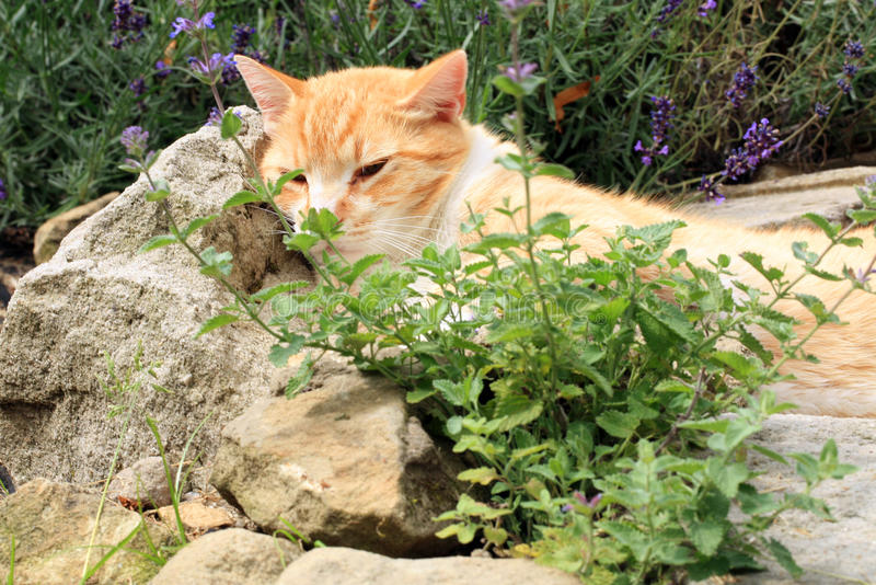 Ginger cat under the influence of catnip. Domestic cat junkie royalty free stock photography