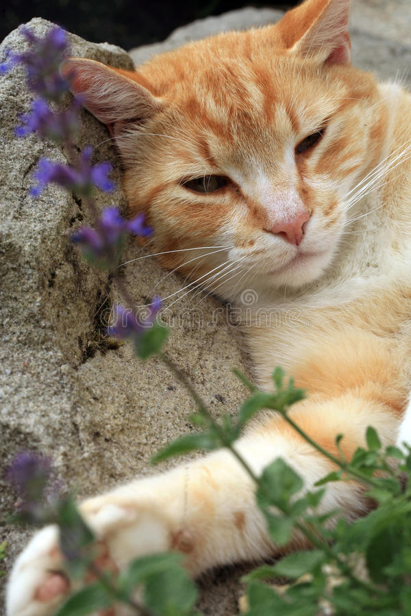 Free Ginger Cat Under The Influence Of Catnip. Stock Photo - 96604720