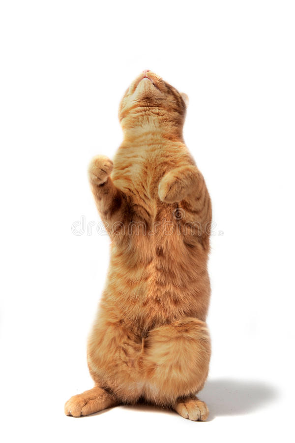 Download Ginger cat up stock photo. Image of animal, young, cute - 17985952
