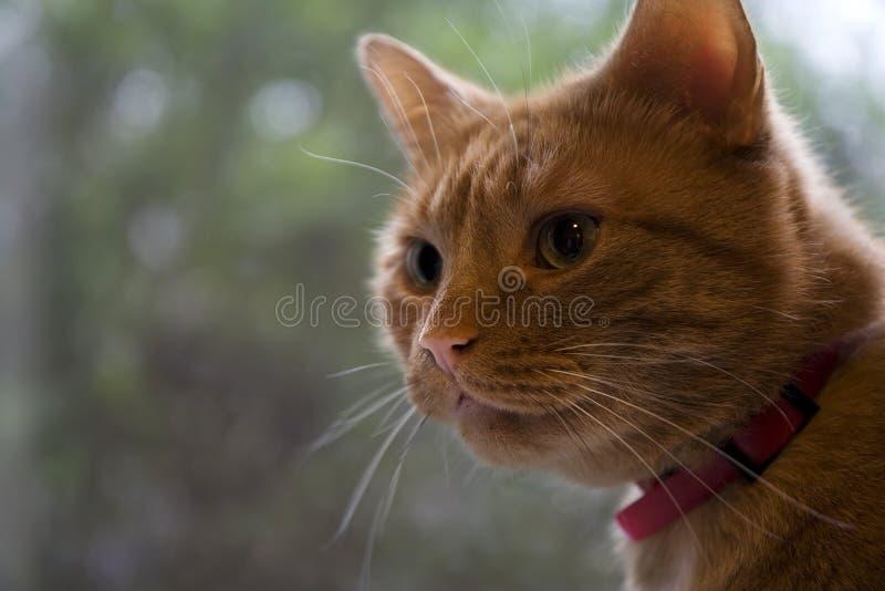 Ginger Cat Watching royalty free stock photos