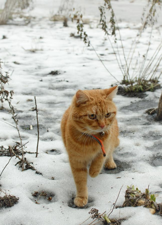 Ginger cat in a winter yard stock photography