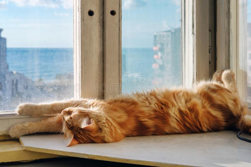 A ginger cat is yawning. On the window sill royalty free stock photography