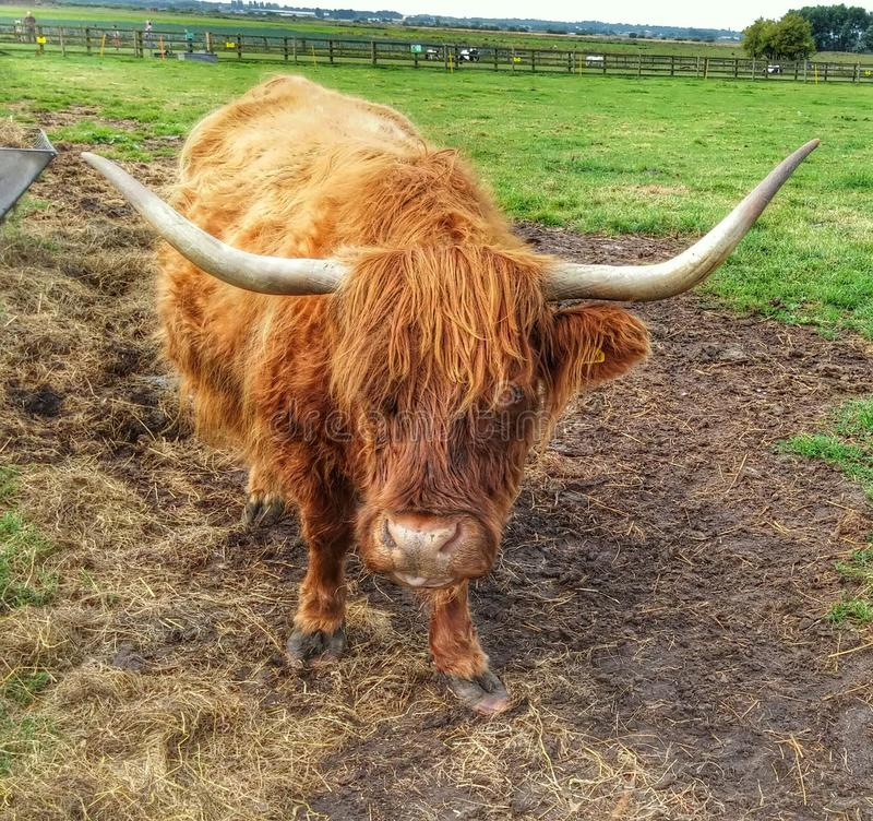 Ginger cow royalty free stock photos