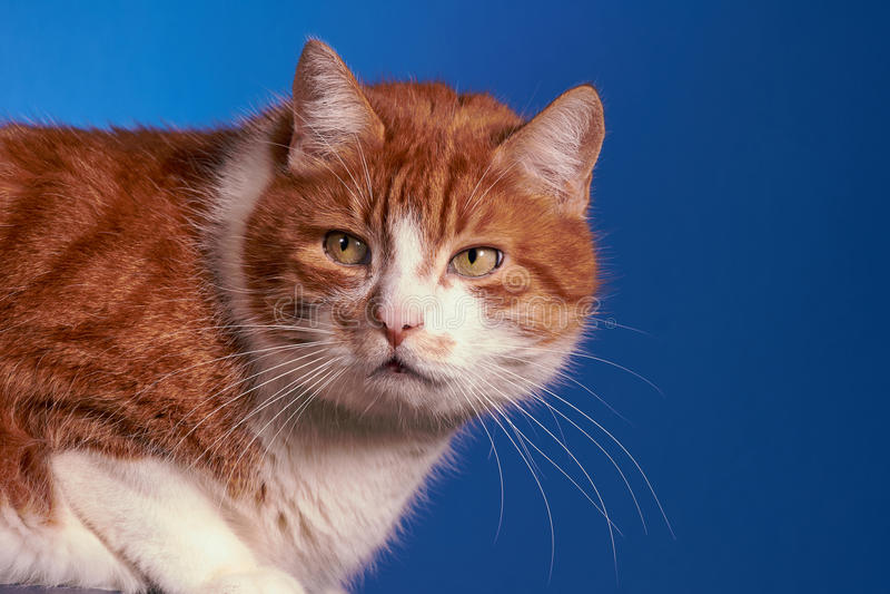 Ginger European cat, stock photo