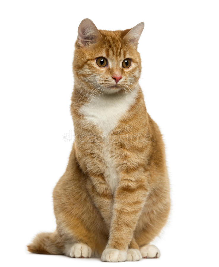 Ginger European Shorthair sitting and looking away royalty free stock photo