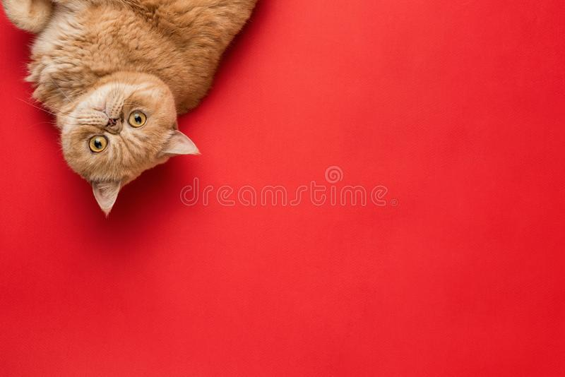 Ginger Exotic Shorthair Cat fotos de stock royalty free