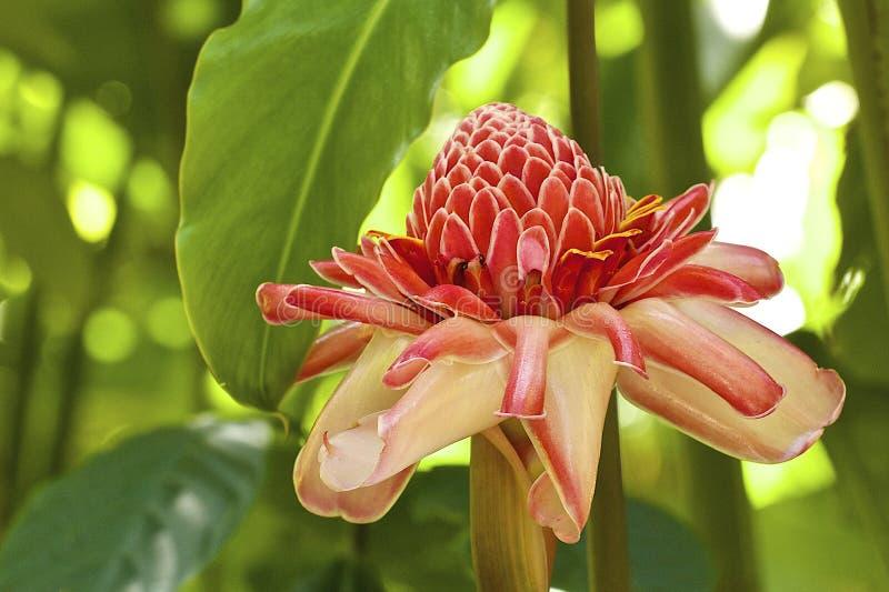 Ginger Flower (raiz), Barbados, das caraíbas imagem de stock