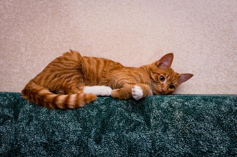 Ginger on green. domestic red-haired striped young cat lies in a funny pose on the sofa royalty free stock photos