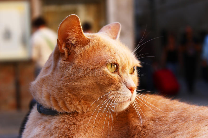 Ginger grumpy cat standing serious - side head view. Funny ginger cat being grumpy. Side head photo of a orange fur cat stock photography