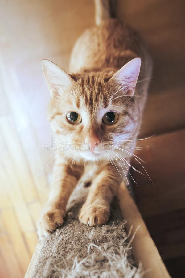 Ginger Hair Red Cat est? apontando suas garras fotografia de stock