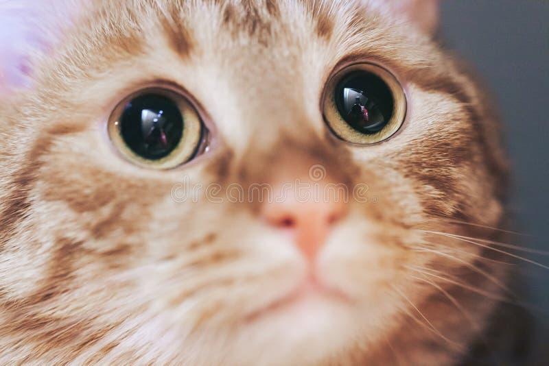 Ginger Hair Red Cat Muzzle-Nahaufnahme stockbilder