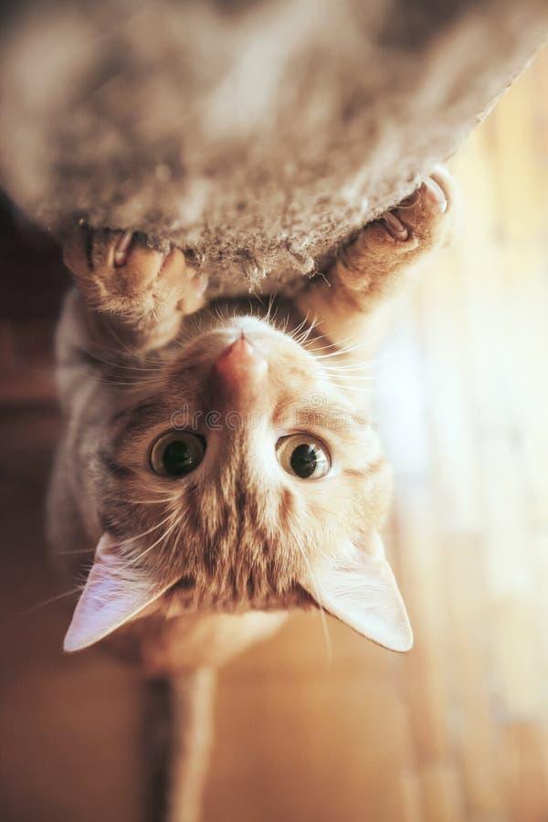Ginger Hair Red Cat sch?rft seine Greifer lizenzfreie stockfotografie
