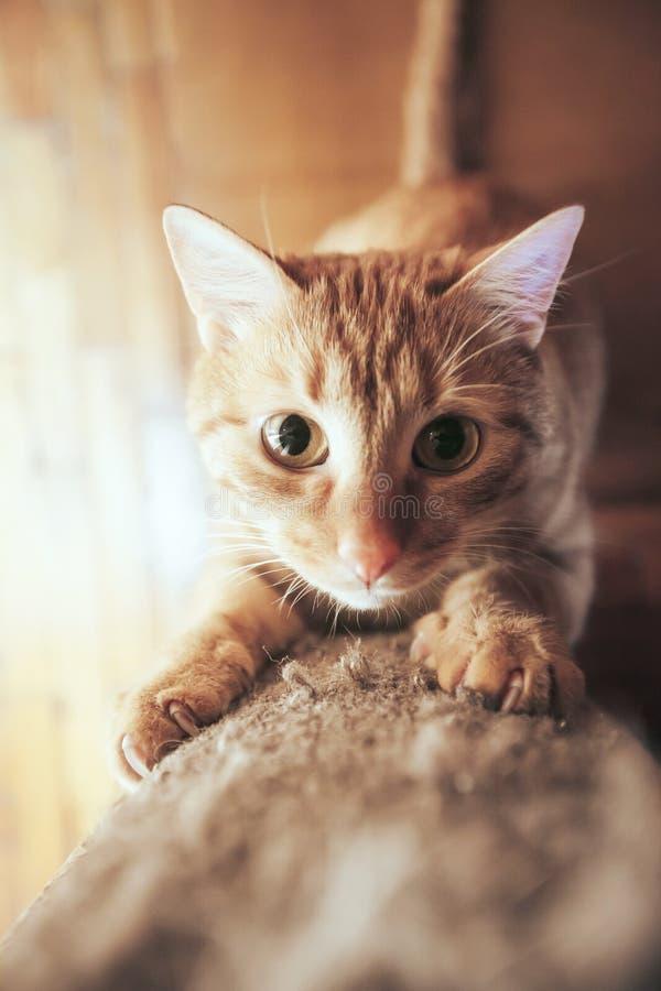 Ginger Hair Red Cat sch?rft seine Greifer lizenzfreie stockfotos