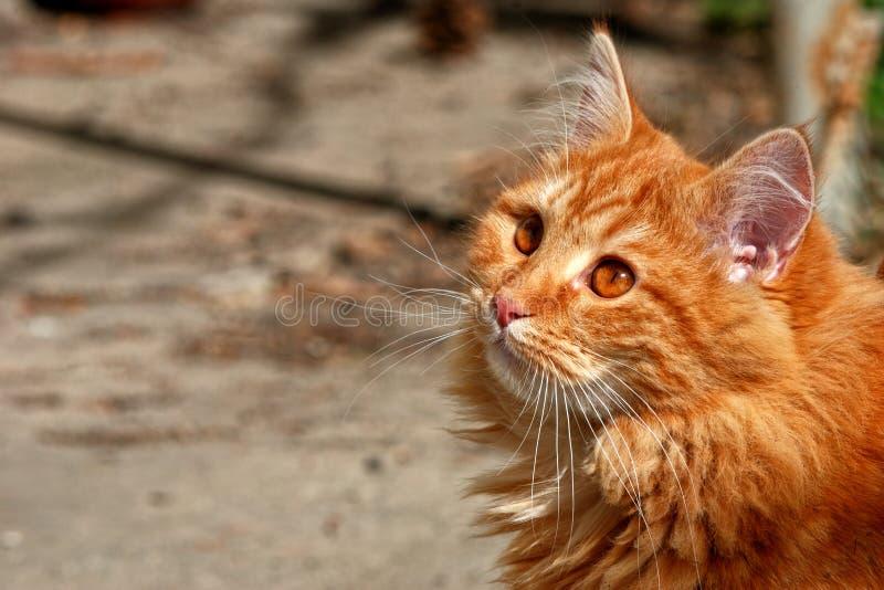 Ginger kitten in the backyard royalty free stock image