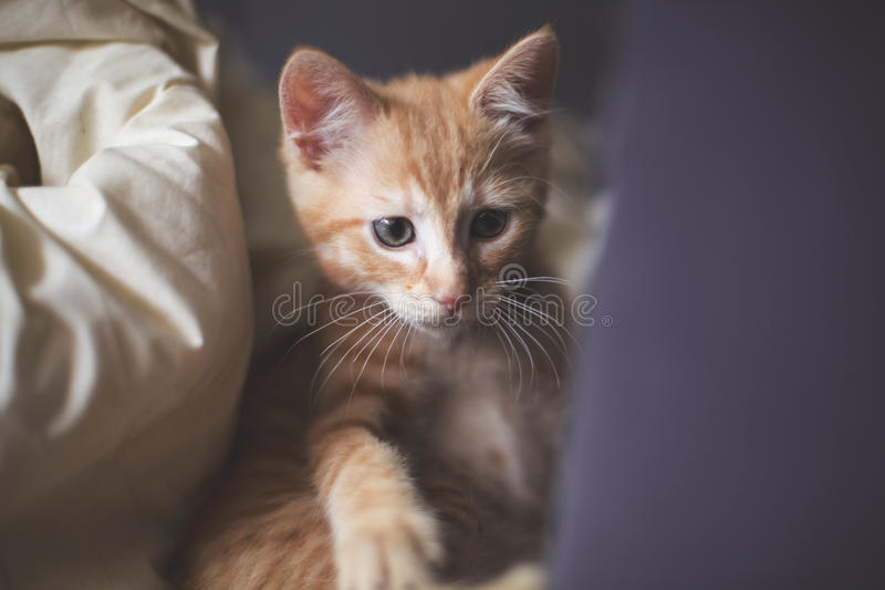Ginger kitten being curious royalty free stock photos