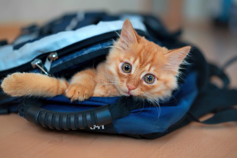 Funny red kitten in a backpack with photographic equipment plays looks sitting. Ginger kitten climbed into a backpack for a hike with photographic equipment and royalty free stock images