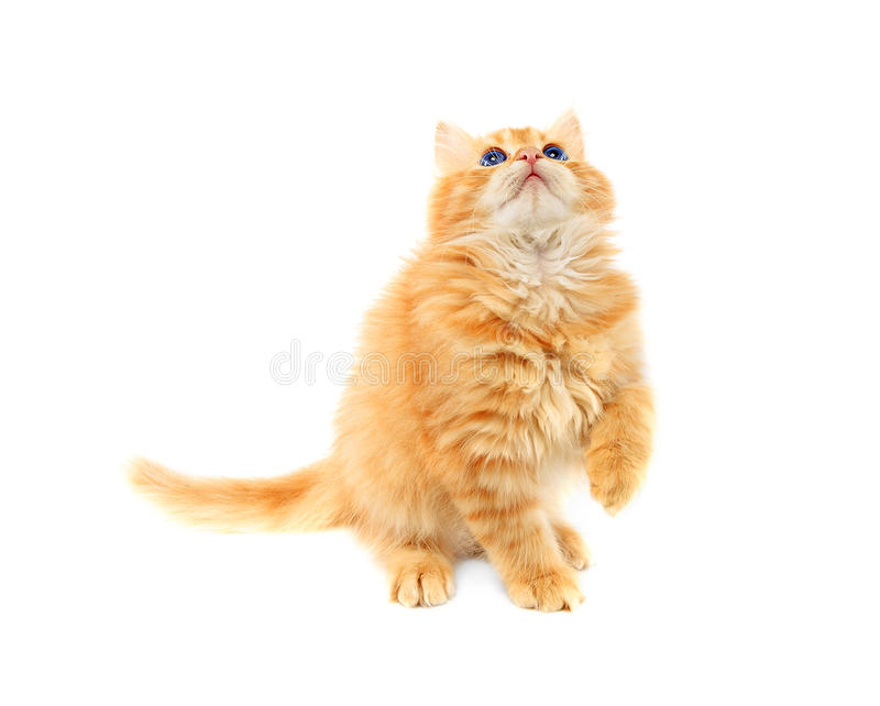 Ginger kitten isolated royalty free stock images