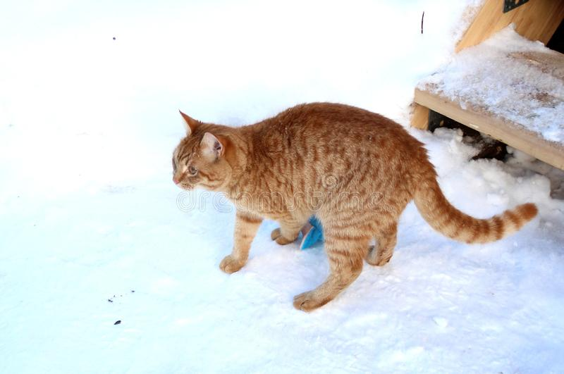 Ginger kitten is played with a toy in the snow. Ginger cat is played in the snow. It can be used to illustrate cats, to create postcards, to design articles on royalty free stock photo