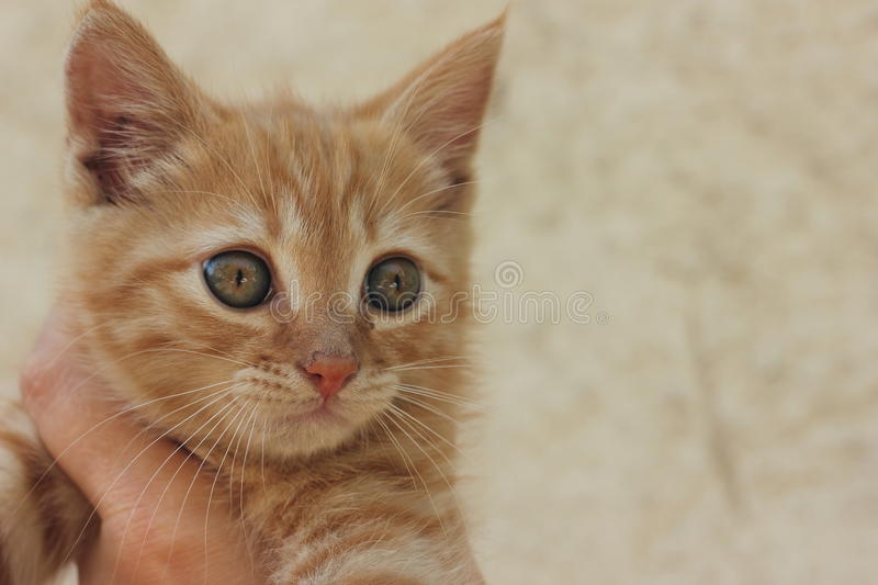 Ginger kitten. It shifted the focus bokeh stock photography