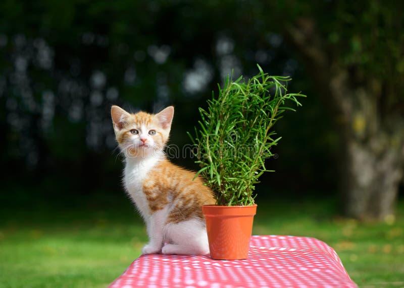 Ginger Kitten sulla Tabella del giardino fotografie stock libere da diritti
