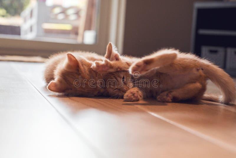 Ginger kittens playing stock photo