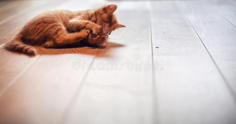 Ginger kitty being playful stock photography