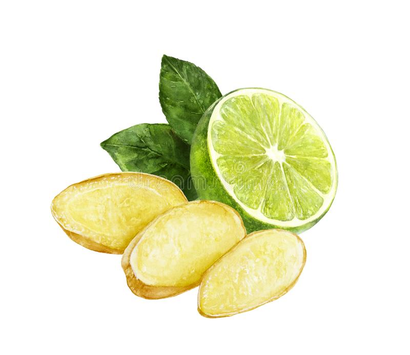 Ginger lime watercolor illustration royalty free stock photography