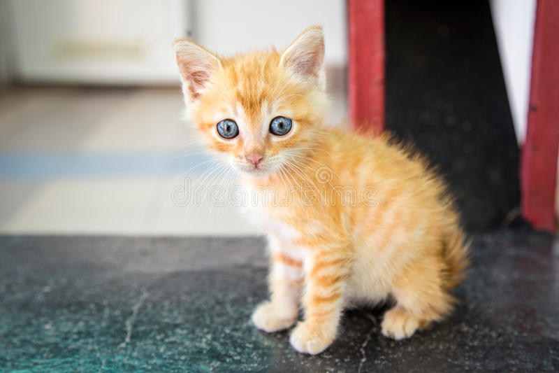 Ginger kitten royalty free stock photo