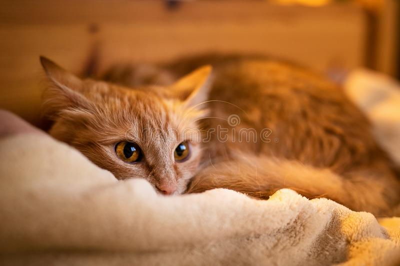 Ginger little cat sleeping at home.  stock image