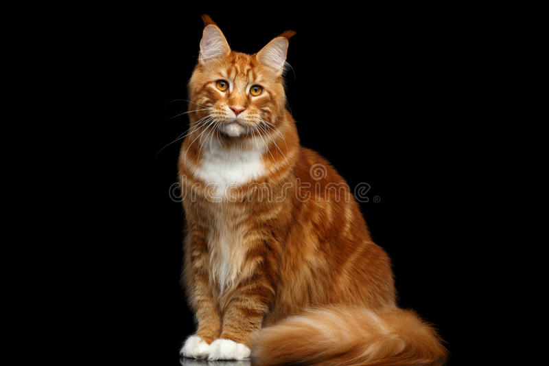 Ginger Maine Coon Cat Isolated no fundo preto fotografia de stock royalty free