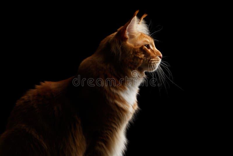 Ginger Maine Coon Cat Isolated på svart bakgrund arkivfoton