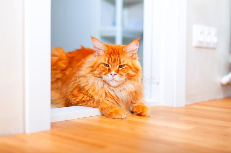 Ginger Maine Coon katt som ligger på tröskeln av rum royaltyfria foton