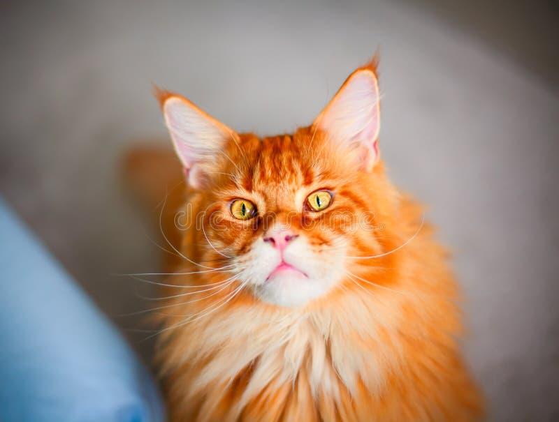 Ginger Maine Coon katt som ser kameran arkivbilder