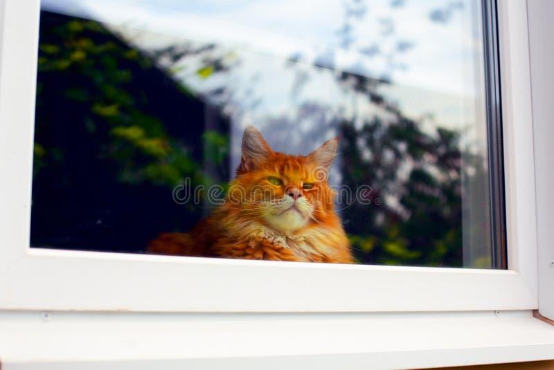 Ginger Maine Coon katt som ser till och med fönstret royaltyfri foto