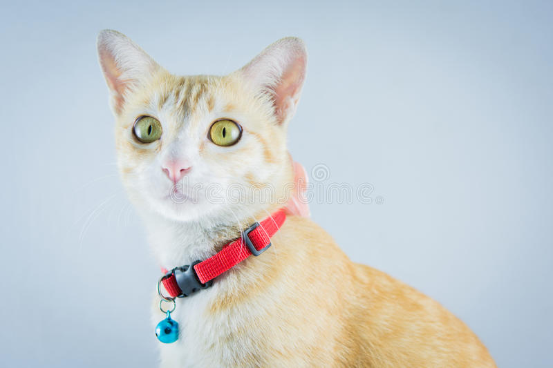 Ginger orange cat have collar and bell royalty free stock image